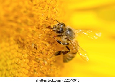 Honey bee pollinating on a sunflower