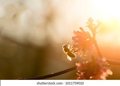 Honey bee pollinating  pink tree blossom with warm sunlight on a spring afternoon.