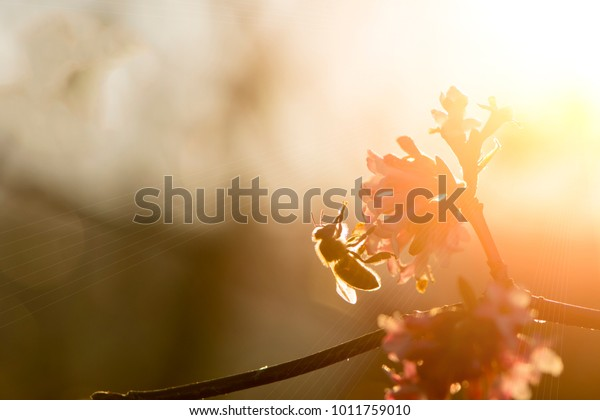 L'abeille de miel pollinise la floraison des arbres roses avec une lumière chaude au soleil un après-midi de printemps.