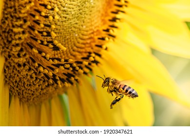 honey bee pollinating sunflower plant