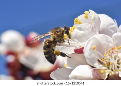 Honey bee. Honey bee pollinating white flowers of peach tree in spring orchard, natural spring background