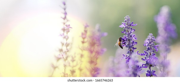 Honey bee pollinating working on purple - blue flowers of Blue Salvia or mealy sage the ornamental flower plant in summer garden nature background, panoramic view with copy space for banner.