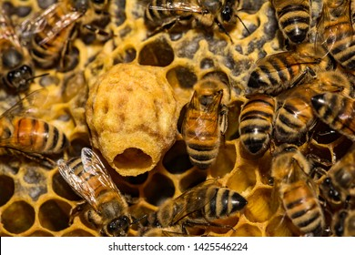 Honey Bee Queen Cell close up