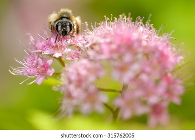 Honey bee rests on a large pink flower