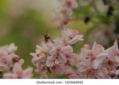 The honey bee sits on a deutzia petal