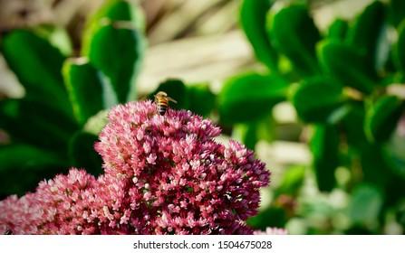 Honey bee sitting on a purple flower