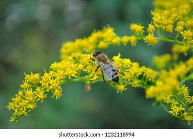 Honey bee sitting on solidago canadensis (Canada goldenrod, Canadian goldenrod) blurry background, close up detail, top view