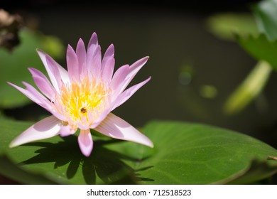 Honey Bee was sucking sweet water and mixing grass Lotus flower color pink
