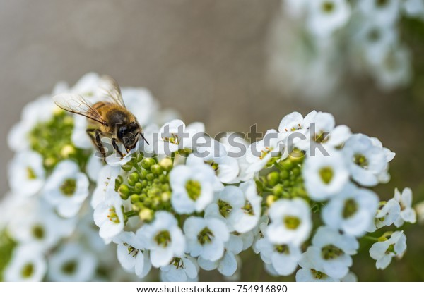 Honey bee taking nectar from small white flowers