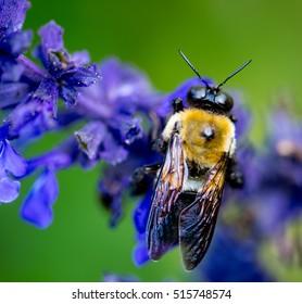 Honey Bee in violet flower