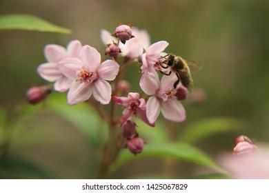 A honey bee visits a Deutzia