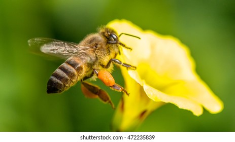 Honey Bee in a Wild Flower collecting nectar.