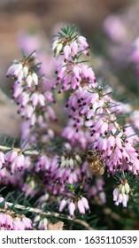 Honey Bee at Work - RHS Wisley, Surrey