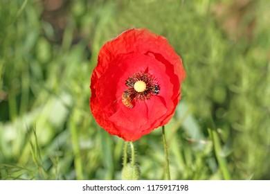 Poppy flowers papaver rhoeas poppies light stock photo edit now honey bee or worker apis mellifera pollinating a poppy flower papaver rhoeas remembering 1918 john mightylinksfo