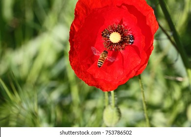 Poppy flower papaver rhoeas poppy light stock photo edit now honey bee or worker apis mellifera pollinating a poppy flower papaver rhoeas remembering 1918 john mightylinksfo