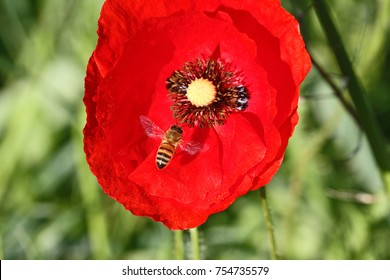 Poppy flowers papaver rhoeas poppies light stock photo royalty free honey bee or worker apis mellifera pollinating a poppy flower papaver rhoeas remembering 1918 john mightylinksfo