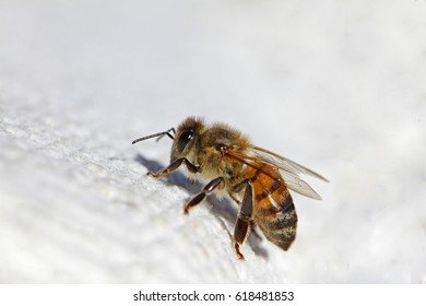 honey bee or worker bee extreme close up Latin apis mellifera crawling on a white cloth in Italy in springtime