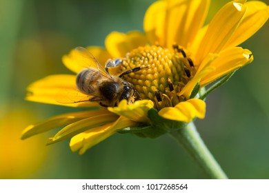 honey bee in yellow flower collecting nectar and covered in pollen