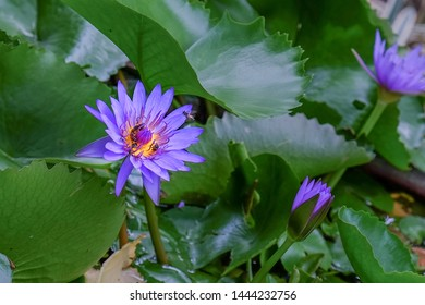 Honey bees closeup picking floral nectar from bright purple water lily  flower on pond on sunny day.Focus on foreground aquatic plants  background.