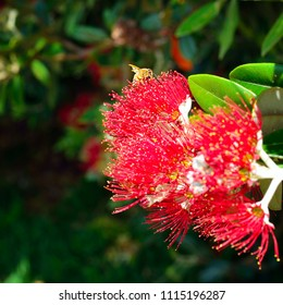 Honey bees collecting pollen on red flowers of Pohutukawa tree. Close-up. Iconic New Zealand