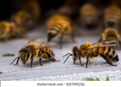 Honey bees at coming and going at the hive