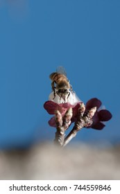 honey bees does pollination service on apricot flower