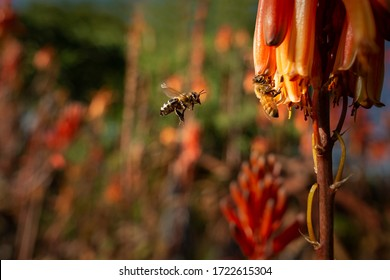 Honey bees flying towards red flowers in search of nectar.