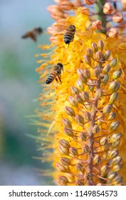 Honey bees gathering pollen on peach colored Cleopatra Foxtail Lily flowers with soft focus background. Original flower photography shot locally in Lakewood, CO June 2018.