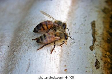 Honey bees gathering water