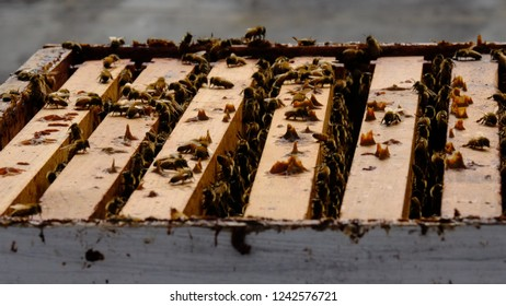 Honey Bees on a Wooden Beehive for Beekeepers