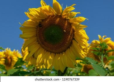 Honey bees pollinating sunflower against blue sky.