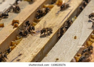 honey bees in wooden hive