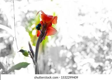 Honey bird couple swinging around a bright red flower seeking honey for their hunger.