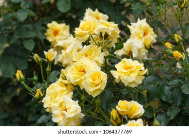 Honey Bouquet Rose