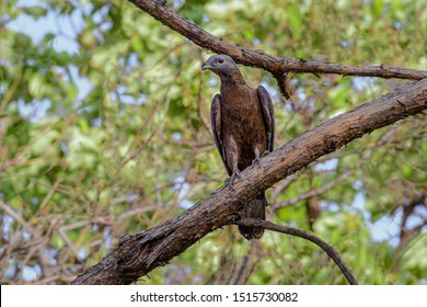 honey buzzard The European honey buzzard, also known as the pern or common pern, is a bird of prey in the family Accipitridae.