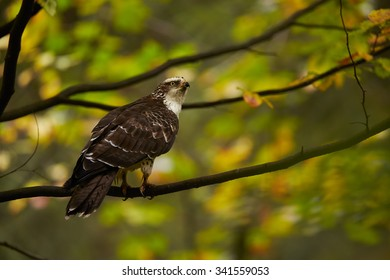 Honey buzzard on a branch in a colorful autumn forest, brown and white attractive color