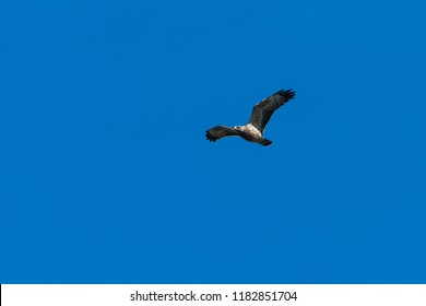 Honey Buzzard, Pernis Apivorus, in flight by blue skies