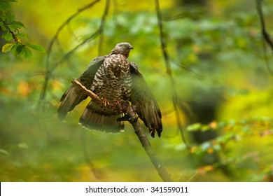 Honey buzzard with spread wings on a branch in a colorful autumn forest
