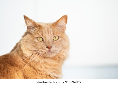 honey cat with a sweet look in a white background