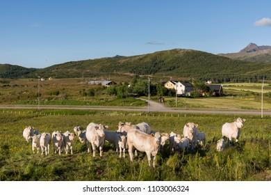 honey colored cows grazing in Haugesund in Eggum