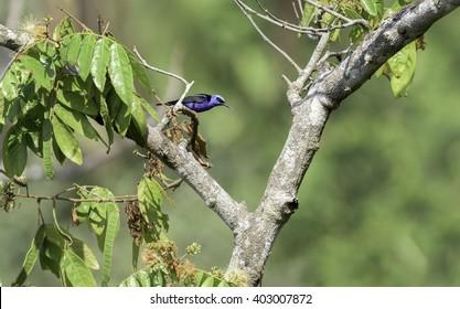 Honey creeper on a tree branch in Costa Rica.