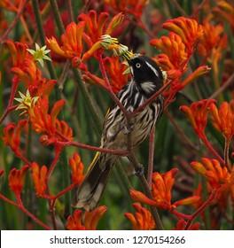 honey eater bird eating nectar from kangaroo paw native Australian plant