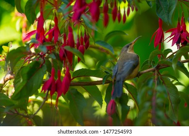 Honey eater bird perching, Australia