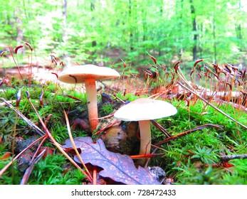 honey fungus, Armillaria mellea