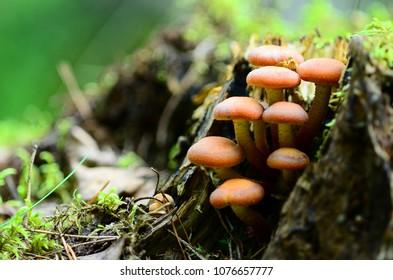 honey fungus  on the stump, close up, macro