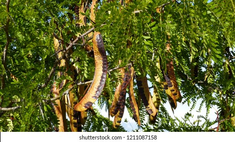Honey locust seed pods (Gleditsia triacanthos), also known as the thorny locust, is a deciduous tree in the Fabaceae family. Location: Extremadura, Spain