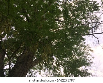 honey locust seed pods hanging from tree