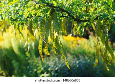 Honey Locust tree (Gleditsia triacanthos) with fruit.