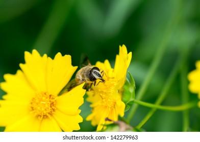 honey production is in Chrysanthemum