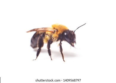 Honeybee Anthidium sticticum, Megachilidae isolated on a white background